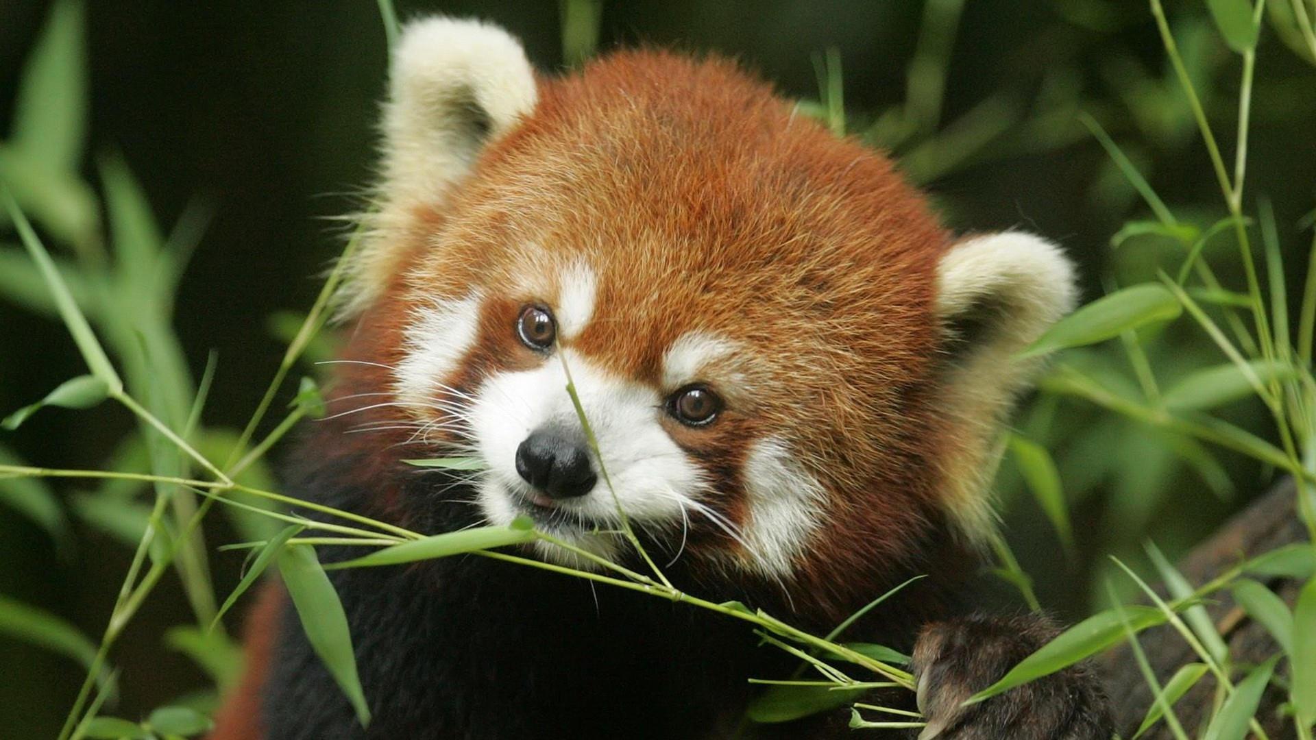 panda-roux-animaux-028